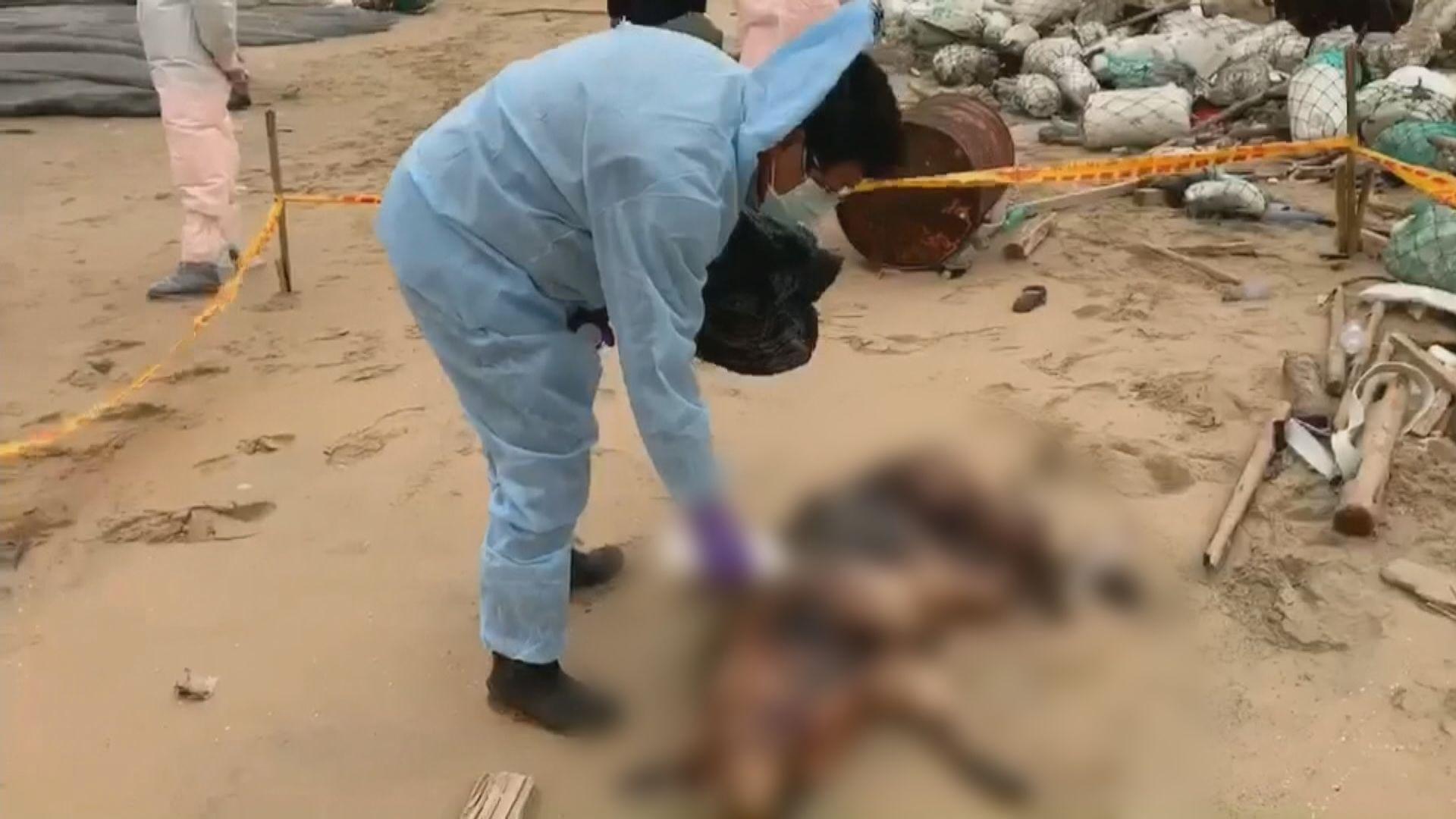 台灣金門再發現死豬 疑從大陸漂流上岸