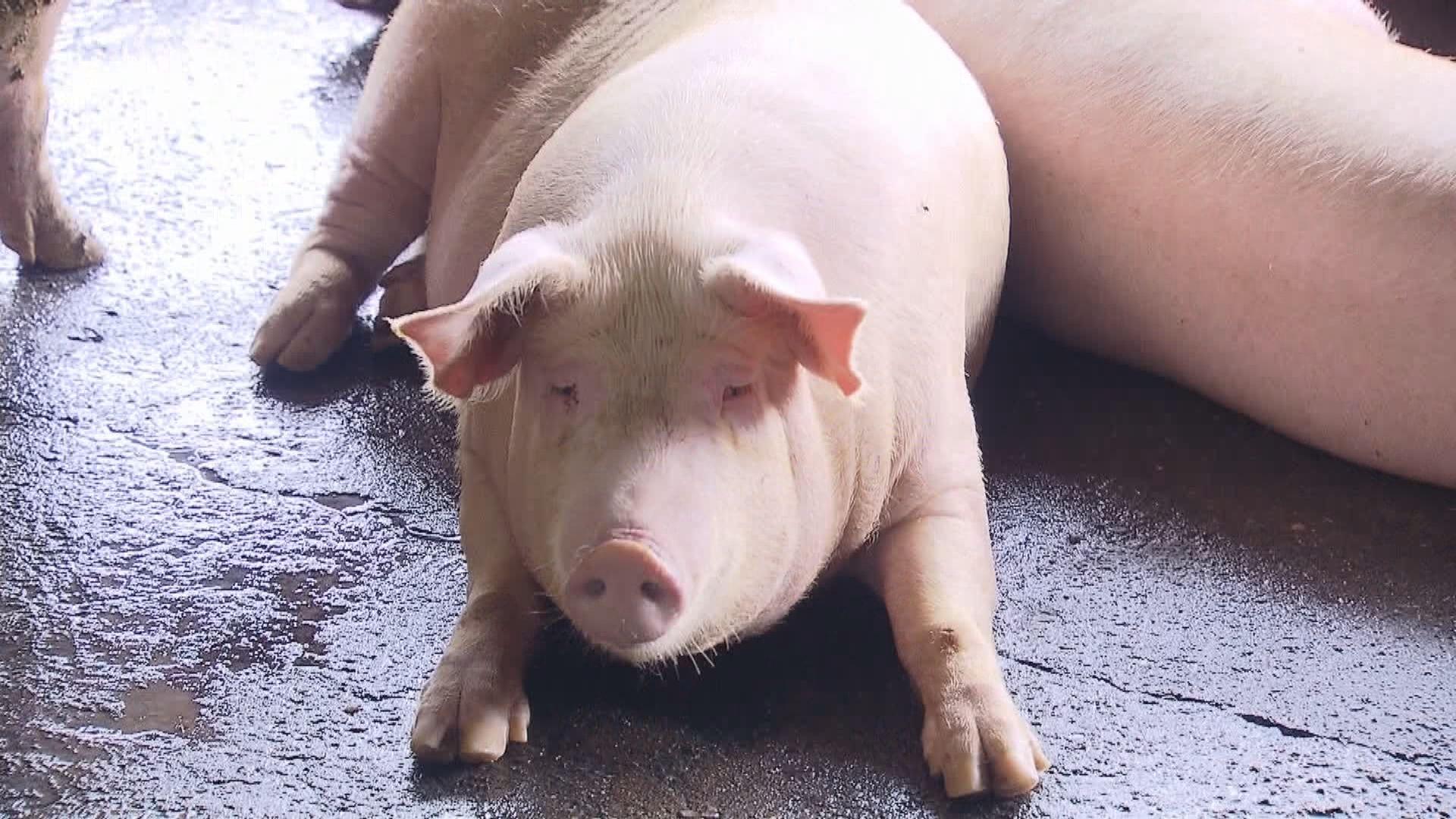 台灣當局下令廚餘養豬場需通過檢核
