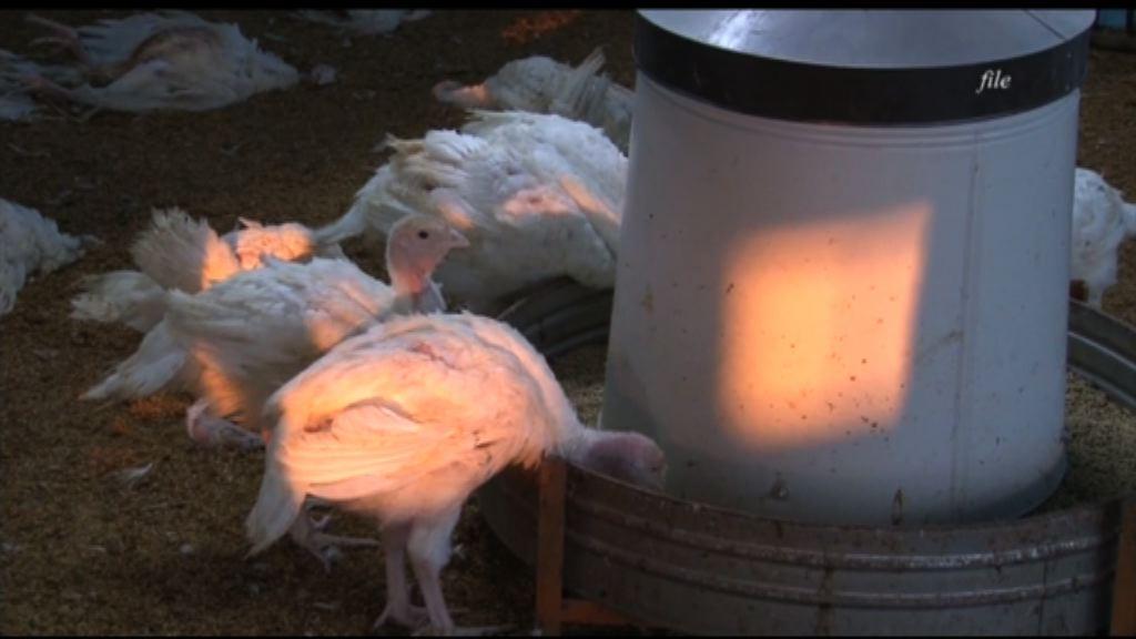 台南逾3000隻火雞染H5N6死亡