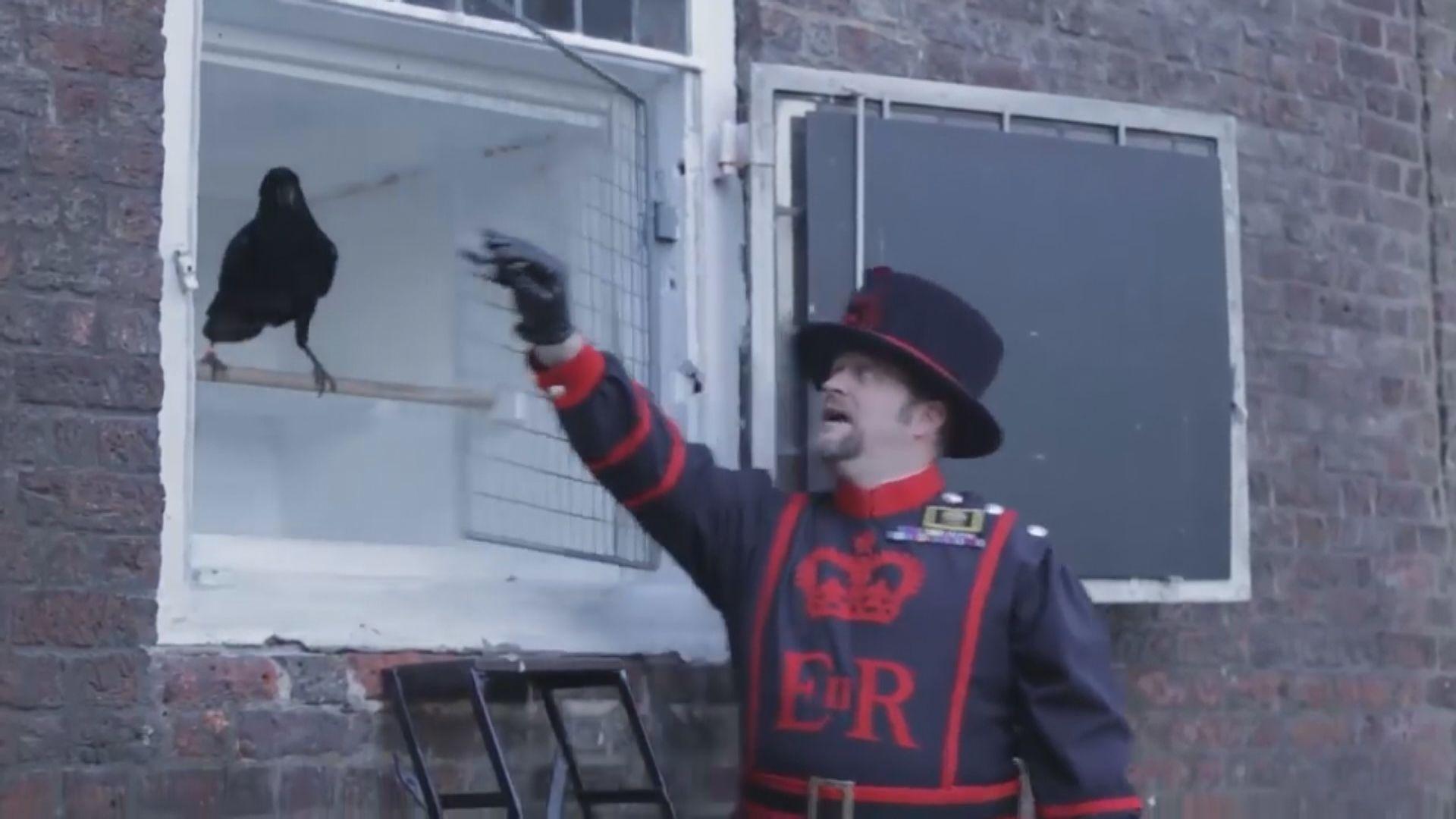 倫敦塔一渡鴉失蹤料已離世 相傳渡鴉關乎英國興亡