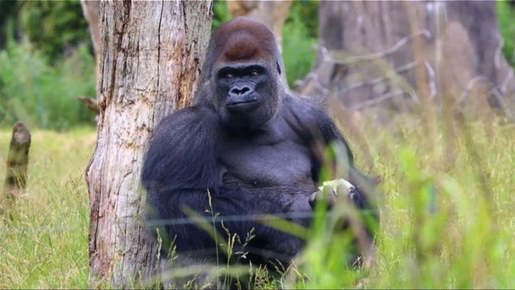 倫敦動物園大猩猩一度逃脫