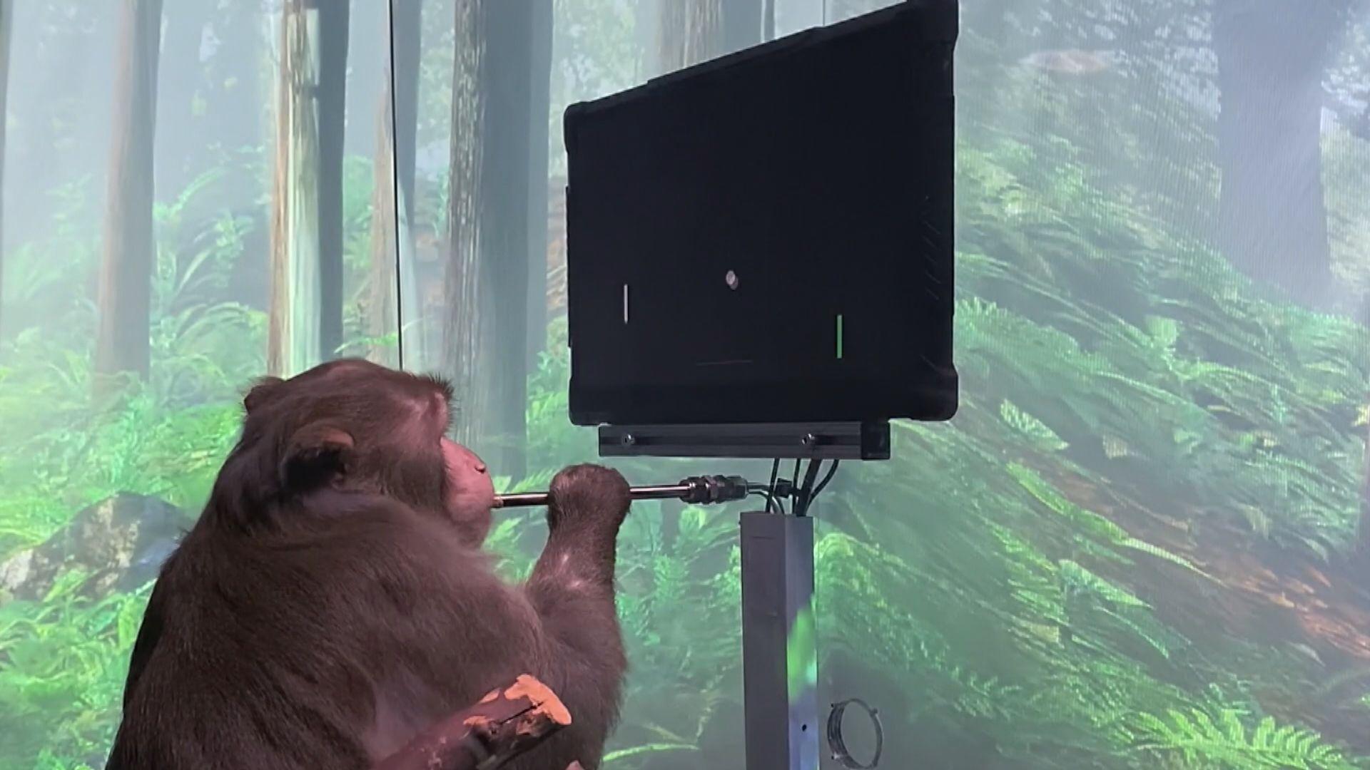 猴子大腦植入晶片 靠「念力」玩電子遊戲