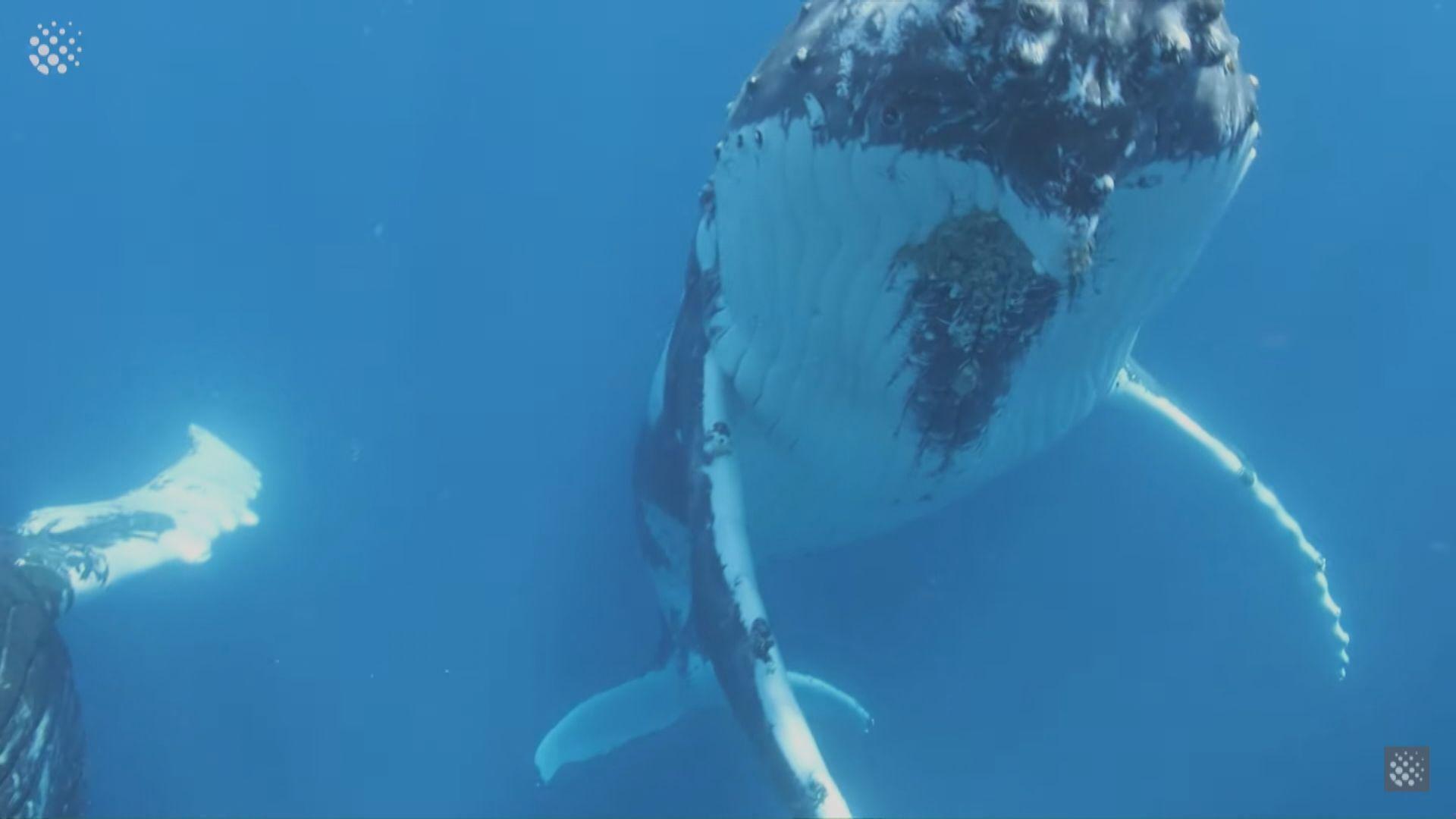 美國男子遭座頭鯨生吞後再吐出逃過一劫