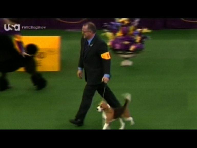 美國狗展小獵犬獲全場總冠軍