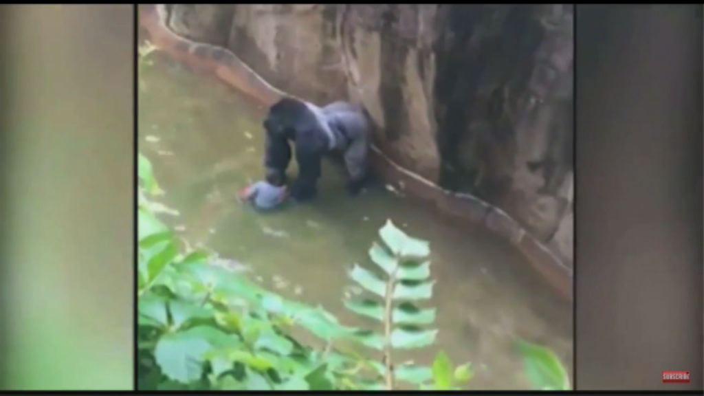 美動物園為救男童射殺大猩猩