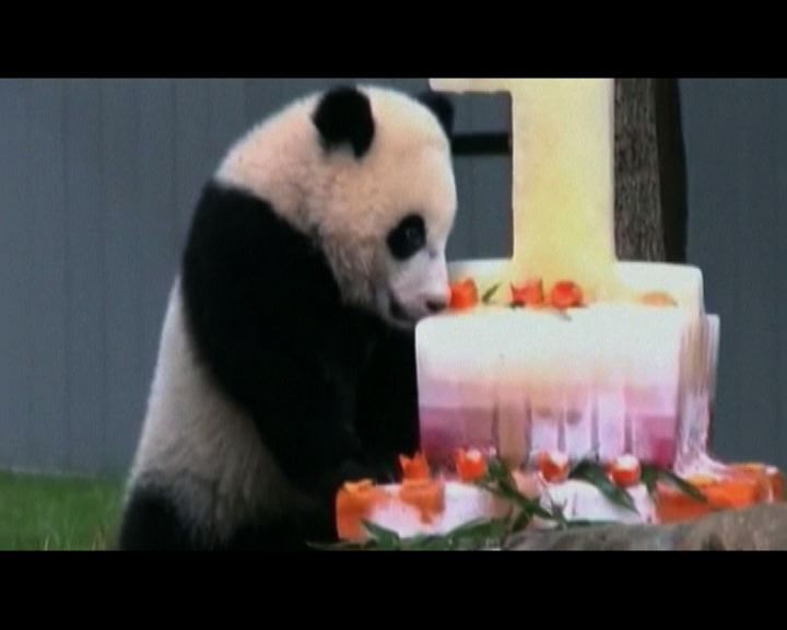 美民眾慶大熊貓寶寶周歲生日