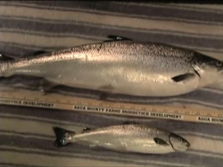 基因改造三文魚生長速度快一倍
