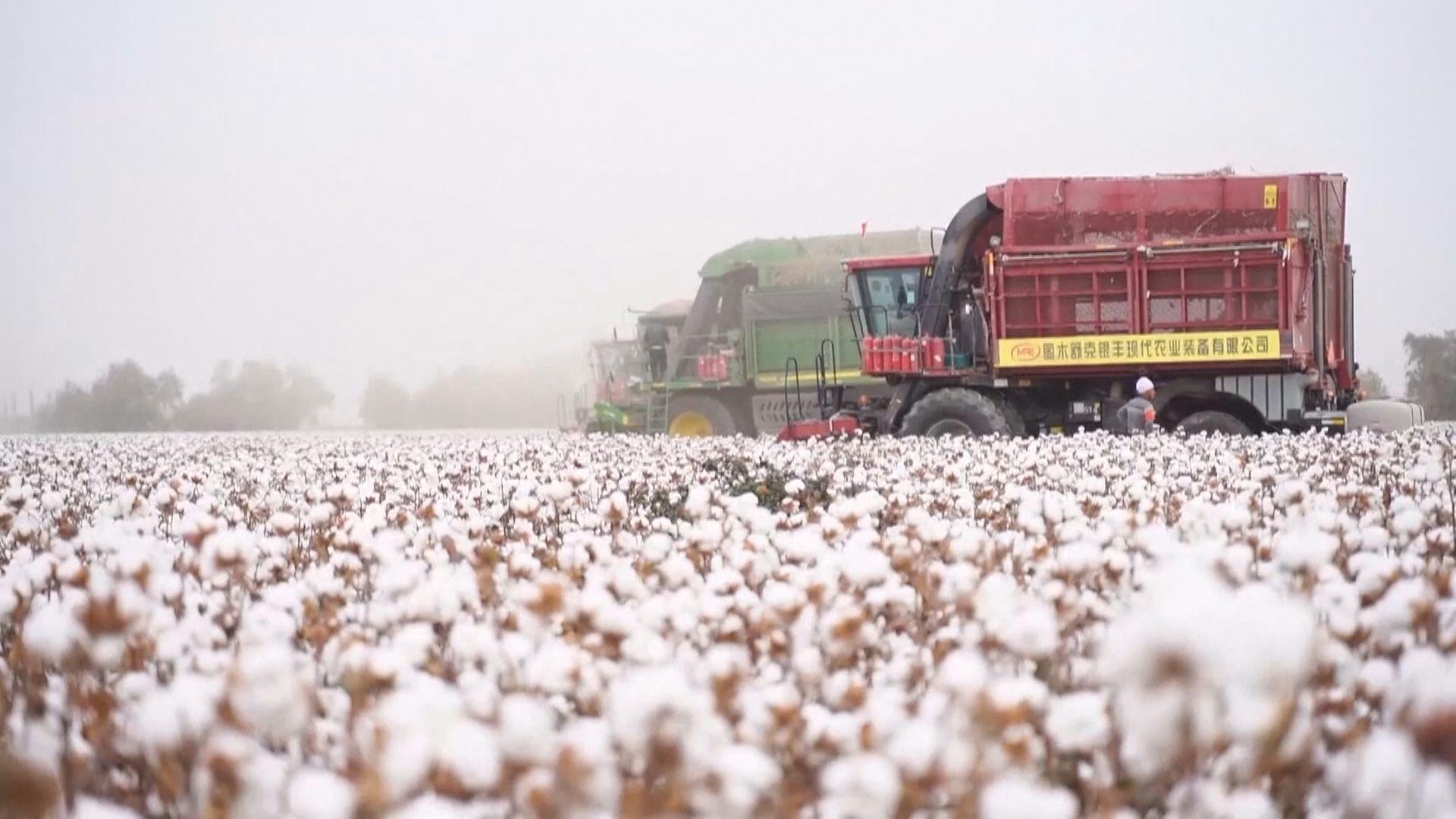 報道指美國或禁止入口新疆棉製品