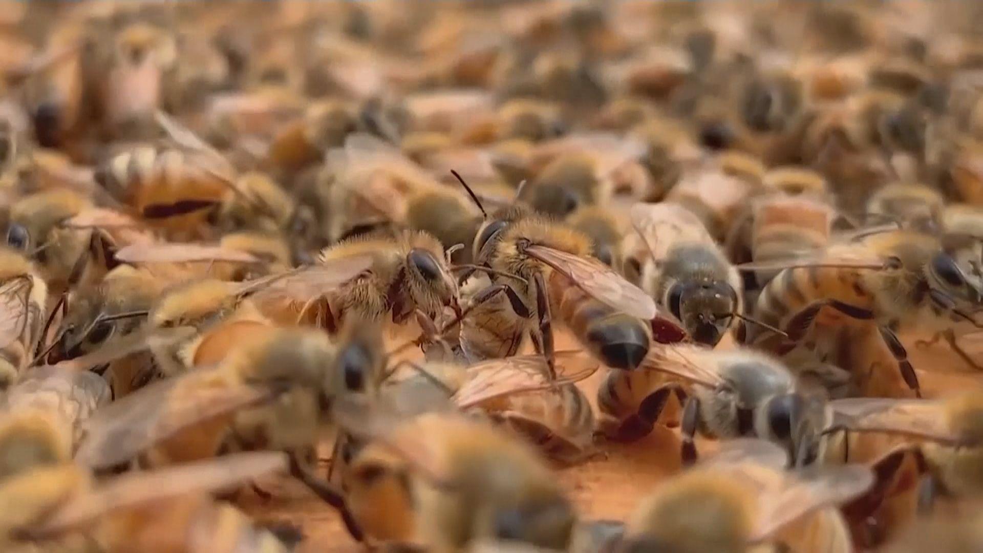 荷蘭研究團隊成功訓練蜜蜂識別新冠病毒