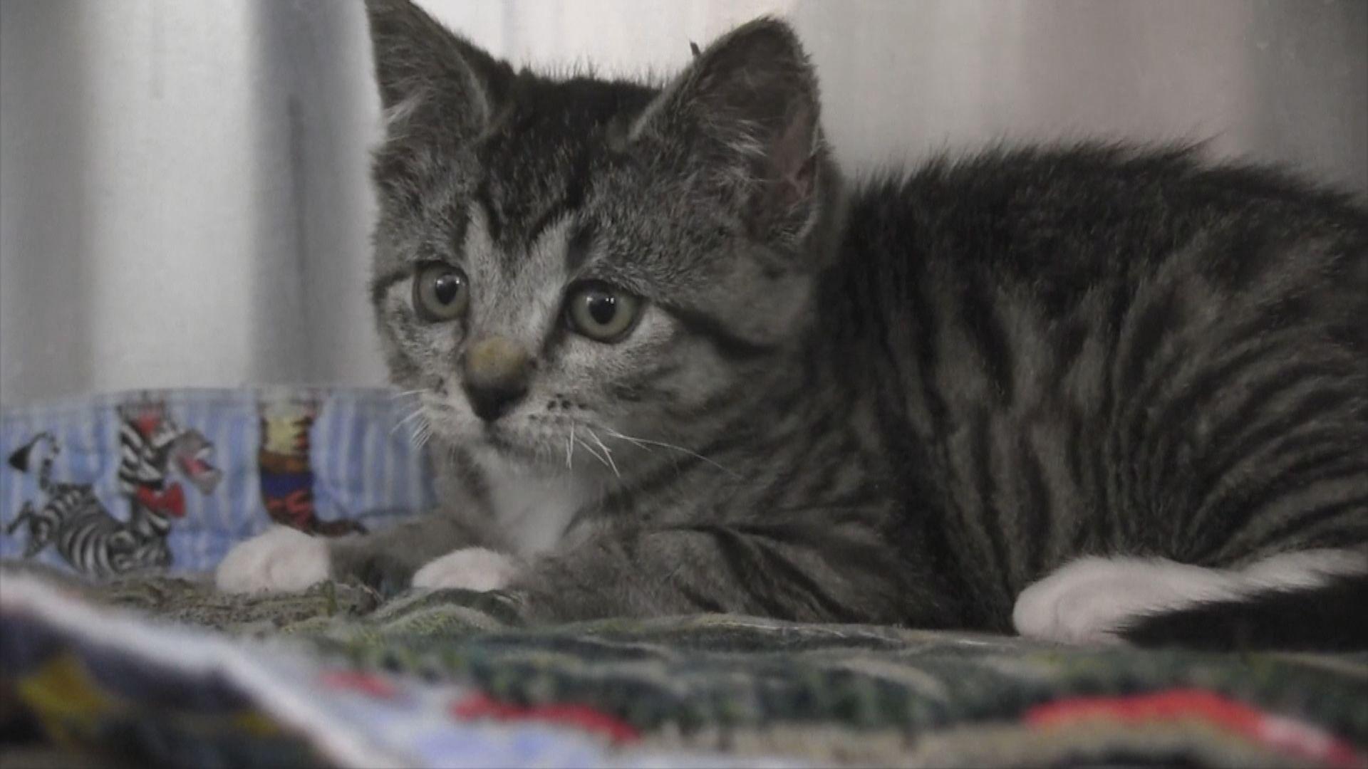 研究:貓與貓會互相傳染新冠病毒 未知會否傳給人類