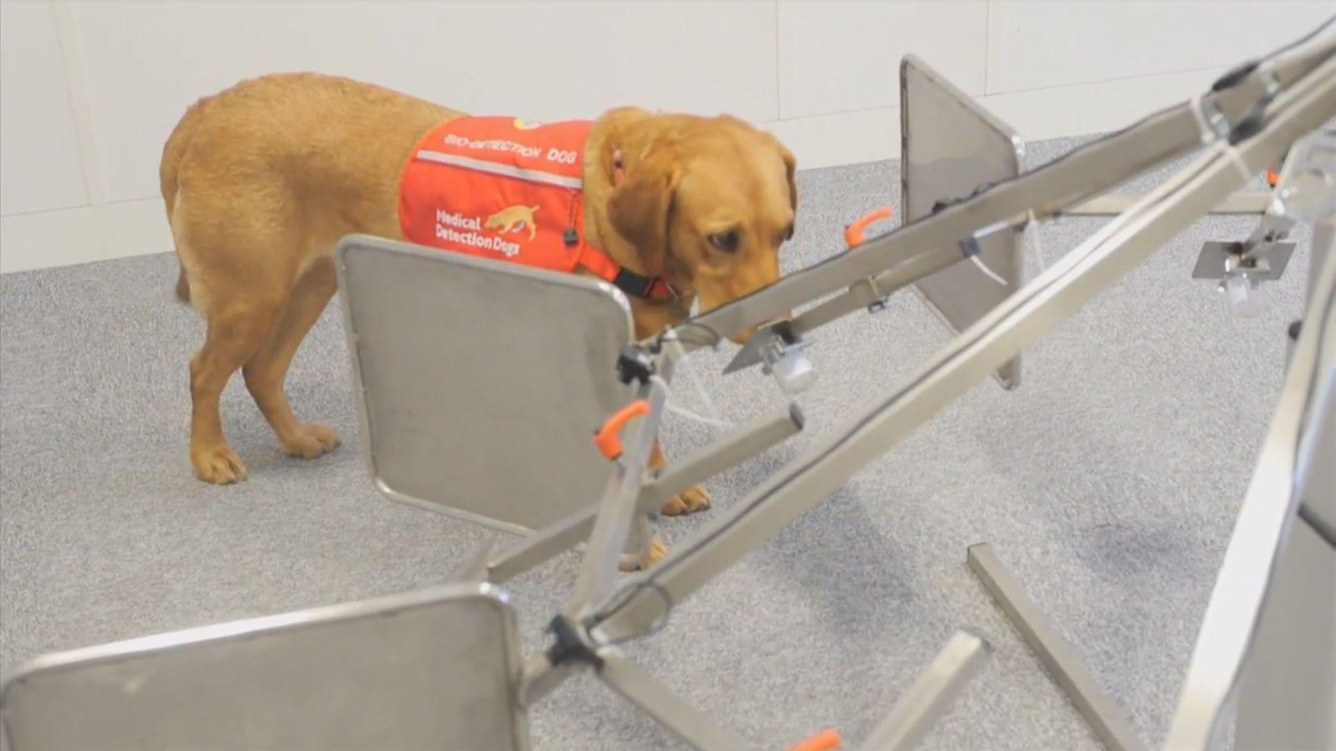 研究訓練狗隻利用嗅覺偵測新冠病毒患者