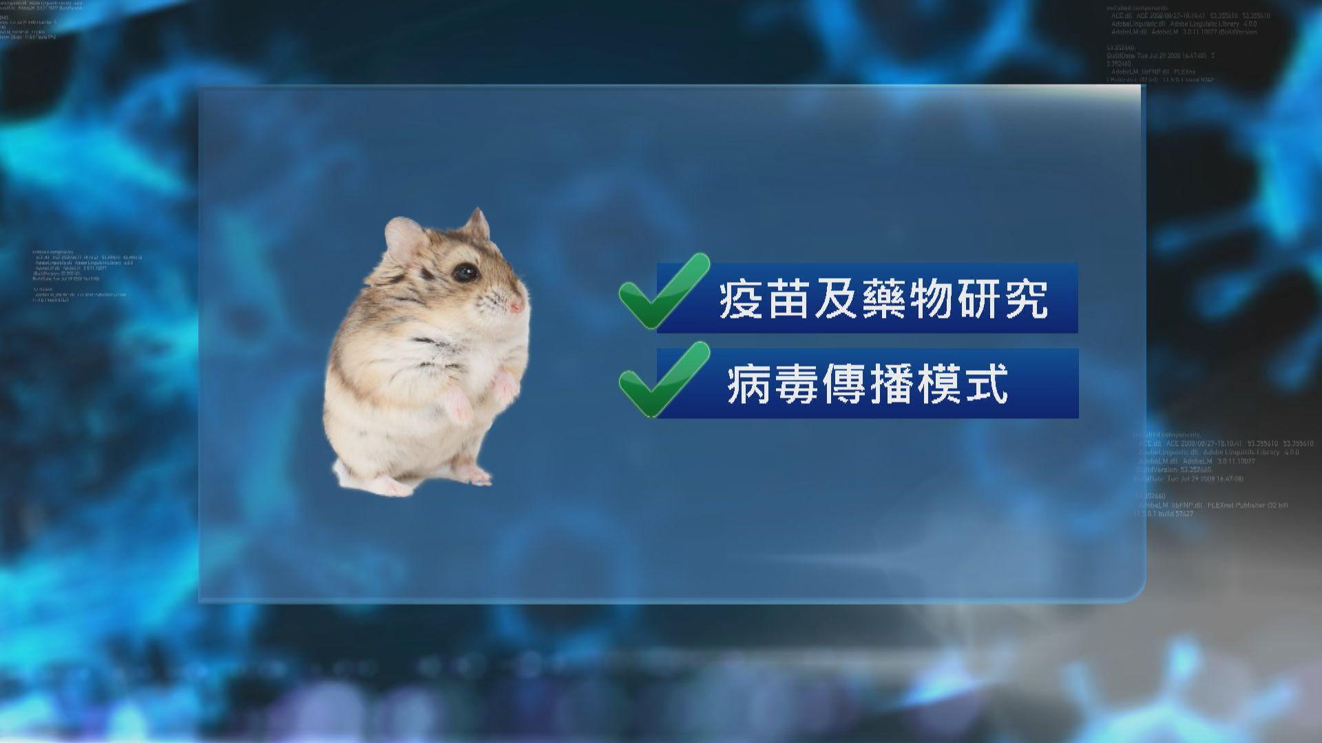 港大研究︰金倉鼠適合用於研究新冠病毒