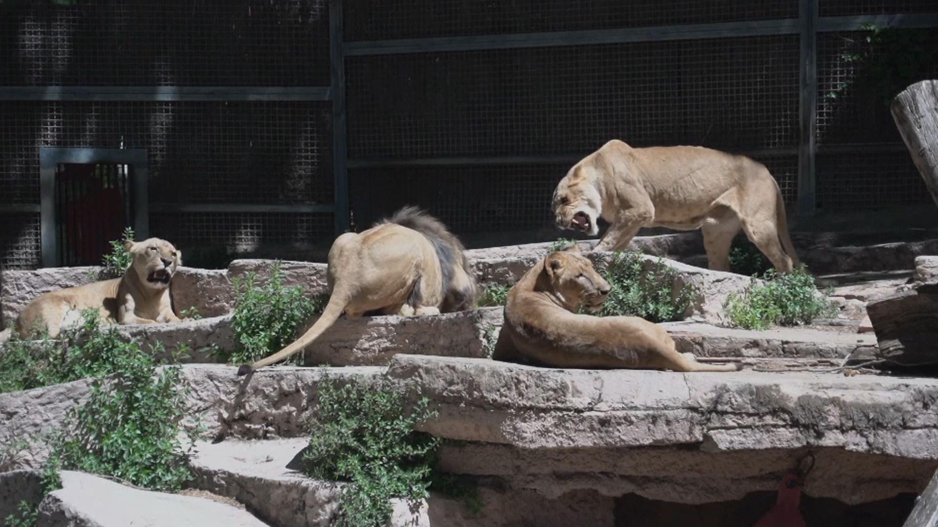 西班牙有四隻獅子感染新冠病毒