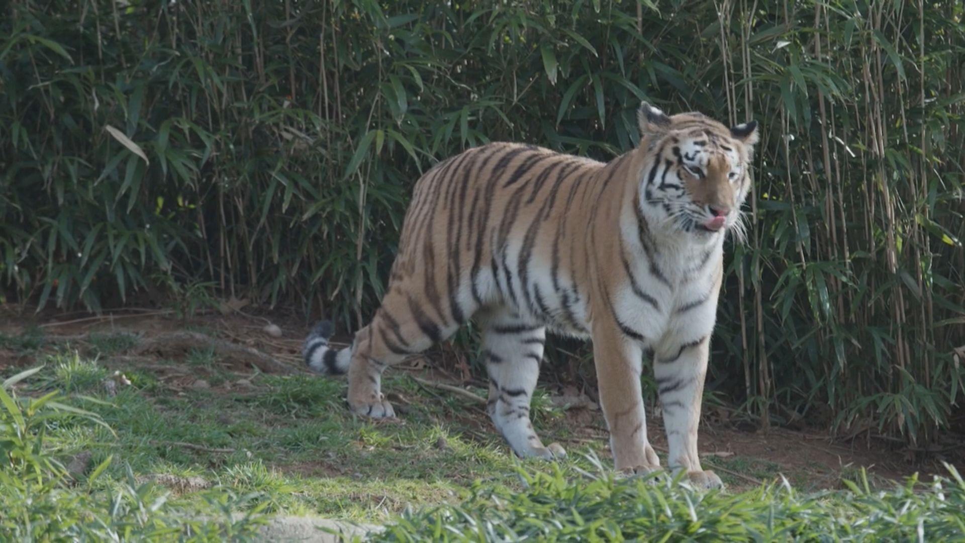 美國國家動物園九隻獅子老虎感染新冠病毒