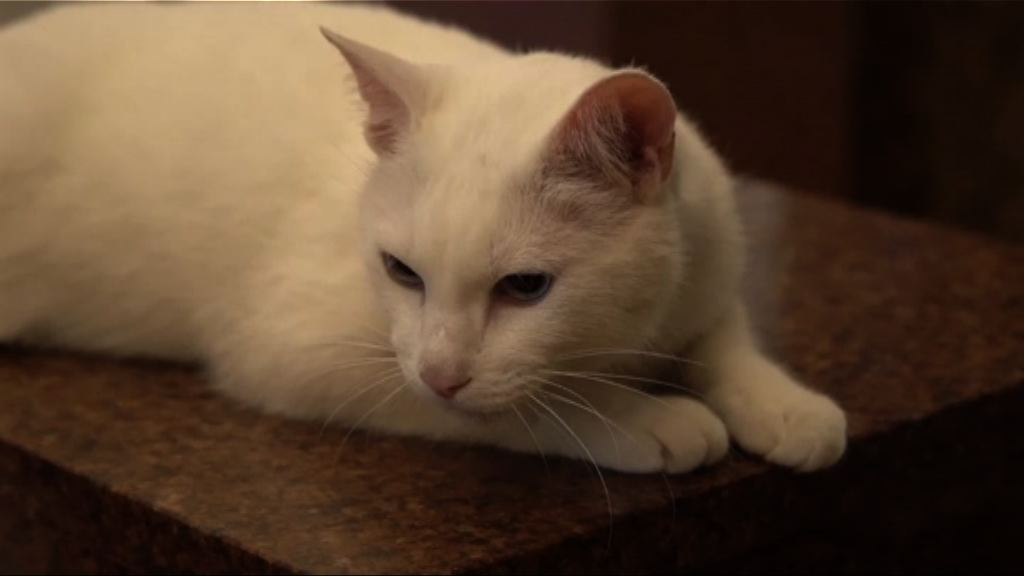 俄羅斯明星貓猜中三場世界盃賽果