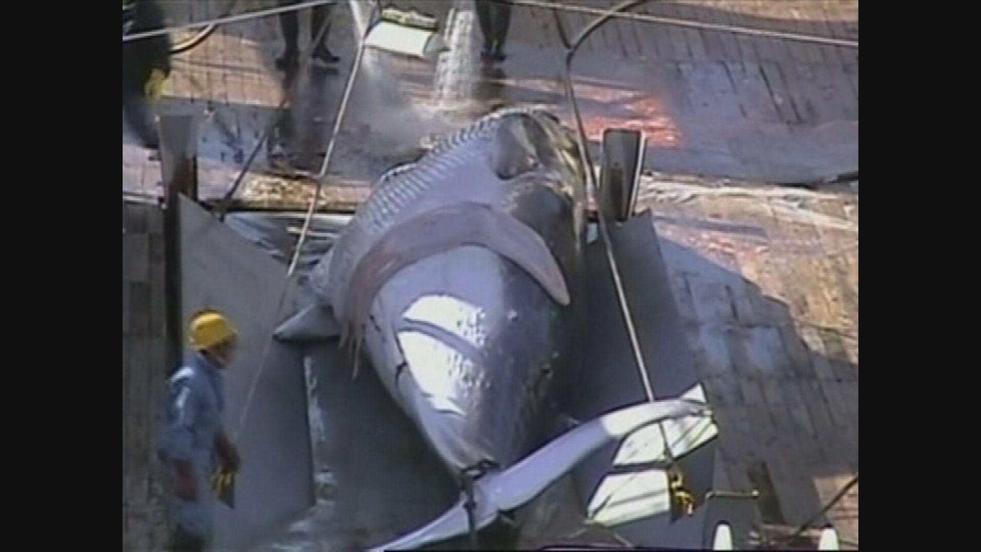 日本倡議廢除商業捕鯨禁令