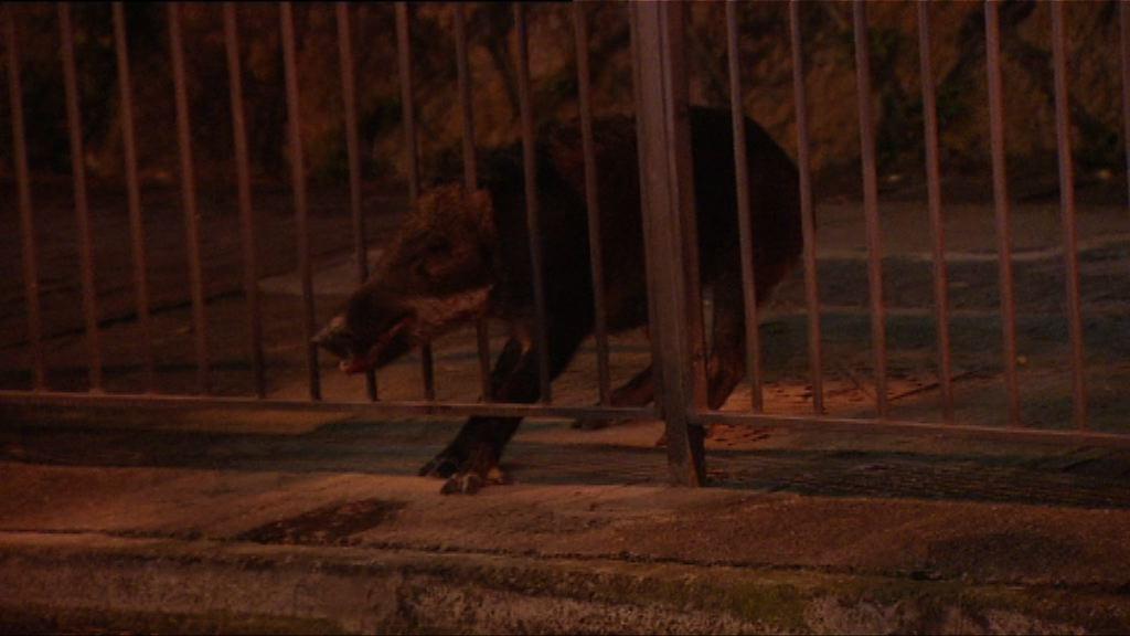 柴灣有野豬被困鐵欄